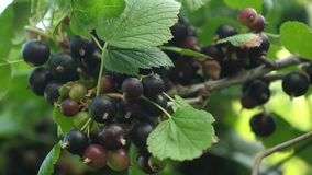Large sweet currant berry. Harvest blackcurrants. tasty berry on the branch. garden business. closeup. black ripe juicy stock video