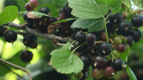 Large sweet currant berry. Harvest blackcurrants. tasty berry on the branch. garden business. closeup. black ripe juicy. Large sweet currant berry. Harvest stock video