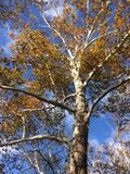 Large sycamore tree in fall blue sky. Treetops of a large sycamore tree with white peeling bark, a bright blue sky background, and golden yellow deciduous leaves Royalty Free Stock Photo