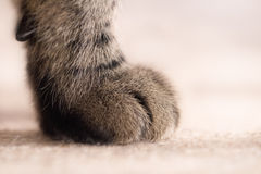Large Tabby Cat's Paw. Close up image of a tabby cat's paw, brown and grey in colour on a beige carpet with beige background stock images