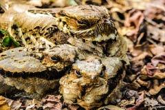 Large-tailed Nightjar Royalty Free Stock Images