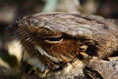 Large-tailed Nightjar Stock Image