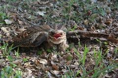 Large-tailed Nightjar Royalty Free Stock Photos