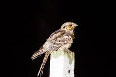 Large-tailed nightjar  A night bird on pillar Royalty Free Stock Photos