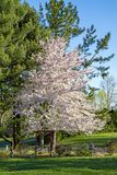 Cherry tree in full blossom early morning sun shining on it. Large tall cherry tree in full bloom early spring.  View of yard.  Early morning sunrays brighten royalty free stock photography