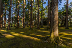 Large and tall pine forest in Obi, Kyushu, Japan Stock Photos