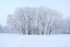 Large and tall plane trees grove in winter Stock Images