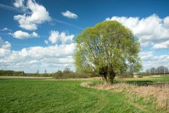 Large tall willow tree growing in a meadow and white clouds on blue sky. Sunny spring day stock images