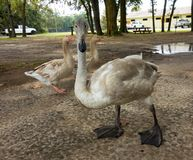 A close-up of a beguiling trumpeter swan in the summertime Royalty Free Stock Photo