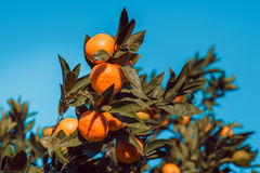 Large tangerines on a branch with green leaves. Against the bright blue sky Stock Images