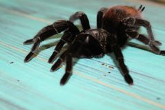Large tarantula on a blue background Royalty Free Stock Photos