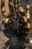 Large tarantula closeup photo Royalty Free Stock Photography