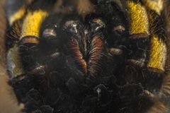 Large tarantula closeup photo Royalty Free Stock Photo