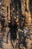 Large tarantula closeup photo Stock Photo