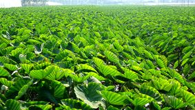 Large Taro Field. A large field planted with taro in Taiwan royalty free stock photography
