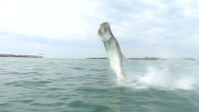 Large tarpon is jumping out of water stock video footage