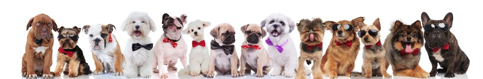 Large team of cute stylish dogs of different breeds. Wearing bowties and sunglasses, standing, sitting and lying on white background Stock Photo