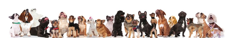 Large team of dogs with bowties and collars looking up. While standing, sitting and lying on white background Royalty Free Stock Image
