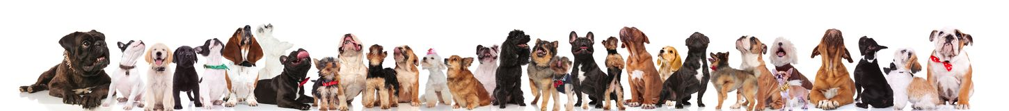 Large team of happy dogs looking up. While standing and sitting on white background Royalty Free Stock Photos