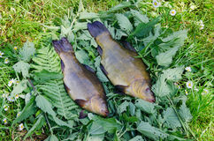 Large tench lying on the tufts of nettle outdoor Royalty Free Stock Images