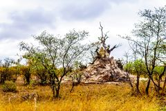 Large Termite Hill or Ant Hill in Kruger National Park. Large Termite Hill or Ant Hill in the savannah area of northern Kruger National Park in South Africa stock photography