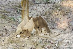 Large termite mound at foot of tree stock photography