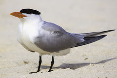 Large tern Stock Photos