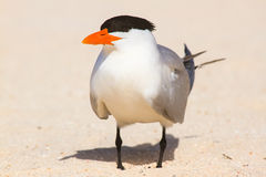 Large tern Stock Photography