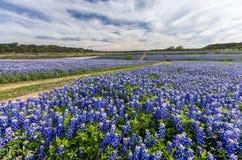 Large Texas bluebonnet field in Muleshoe Bend, Austin, TX Stock Image