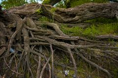 Large thick root on rocky background Royalty Free Stock Images