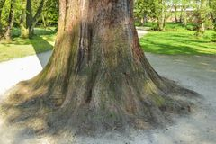 Large thick trunk of a tree Royalty Free Stock Photography