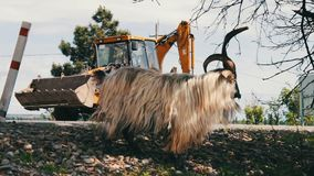 Large thoroughbred goat with huge horns chewing foliage from a tree and getting two feet, not far from Tbilisi, Georgia. A large thoroughbred goat with huge stock footage