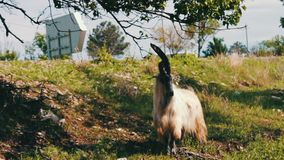 Large thoroughbred goat with huge horns chewing foliage from a tree and getting two feet, not far from Tbilisi, Georgia. A large thoroughbred goat with huge stock video