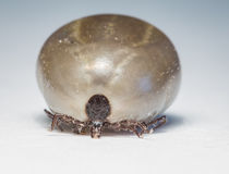 Large tick parasite Stock Image