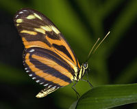 Large Tiger Butterfly. From Central America Royalty Free Stock Photo