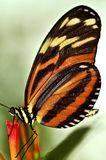Large tiger butterfly. Sitting on a flower royalty free stock photography