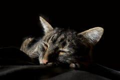 Large Tiger Cat Sleeping On Blanket. Comfortable large striped tiger cat asleep on blanket on black background royalty free stock photo