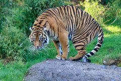 Large tiger getting up. From it`s spot on a rock Stock Photo