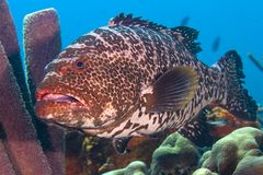 Large tiger grouper Stock Image