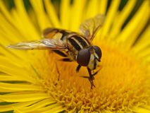 Large tiger hoverfly Helophilus trivittatus Stock Images