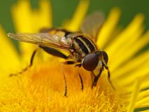 Large tiger hoverfly Helophilus trivittatus Royalty Free Stock Photography