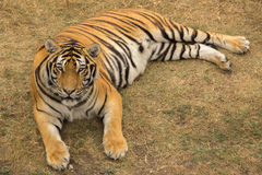 A large tiger lies and rests in the park on dried grass during t. A large striped tiger lies and rests in the park on dried grass during the day stock photography