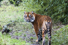 Large tiger in the wild is on the hunt. Stock Photography