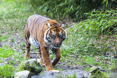 Large tiger in the wild is on the hunt. Royalty Free Stock Photo