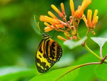 Large Tiger Yellow Orange Monarch Butterfly. Large Yellow Orange Tiger Monarch Butterfly, Lycorea Cleobaea, sitting on green leaf with wings folded Macro royalty free stock image
