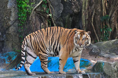 Large tiger in the zoo. The large tiger, wild animal in the zoo stock photos