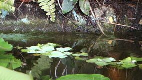 Large tilapia swimmong under water lilies at belmont house, bequia stock video footage