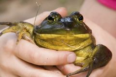 Large Toad royalty free stock photography
