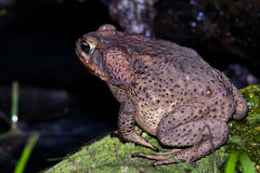 Large toad Royalty Free Stock Photo