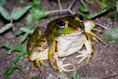 Large toad Royalty Free Stock Images